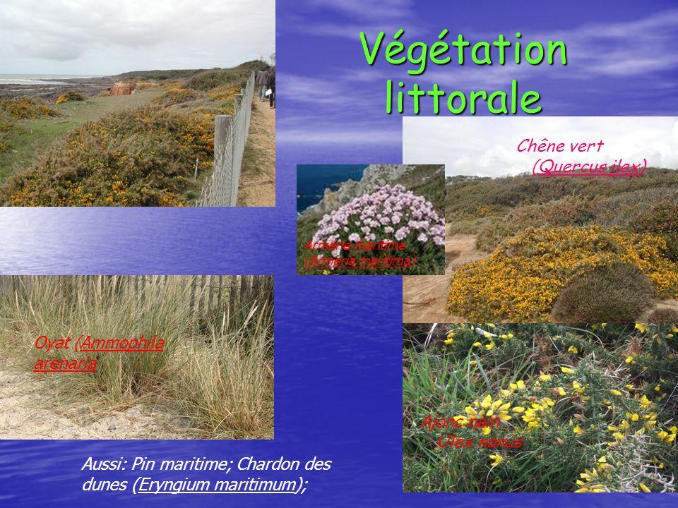 Végétation littorale Chêne vert ( Quercus ilex) Ajonc nain Ulex nanus Aussi: Pin maritime; Chardon des dunes (Eryngium maritimum); Oyat (Ammophila are