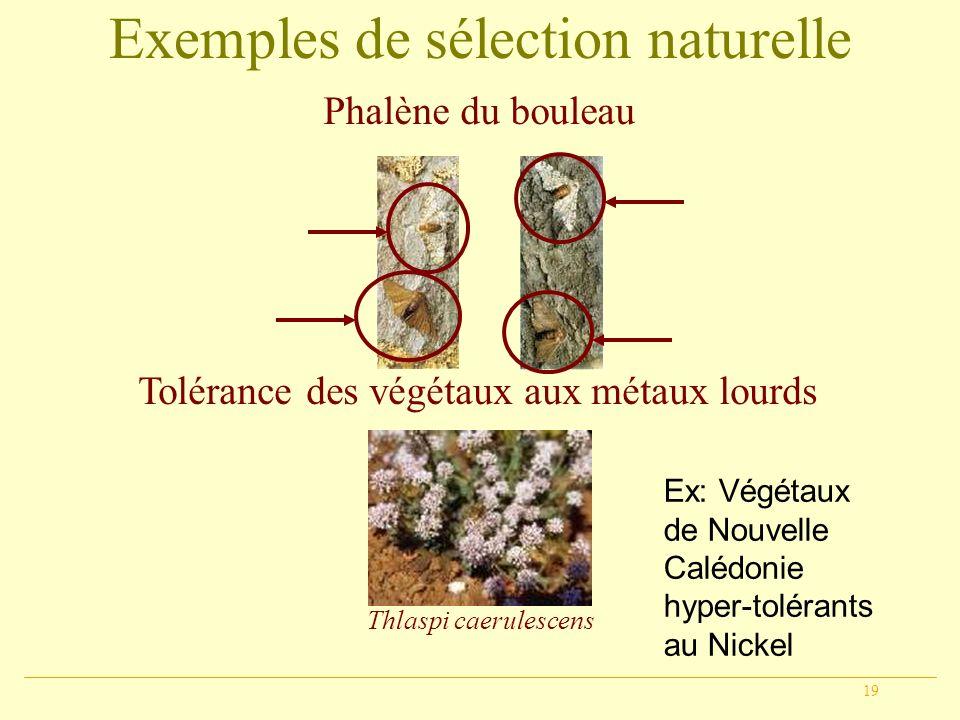 19 Exemples de sélection naturelle Phalène du bouleau Tolérance des végétaux aux métaux lourds Thlaspi caerulescens Ex: Végétaux de Nouvelle Calédonie