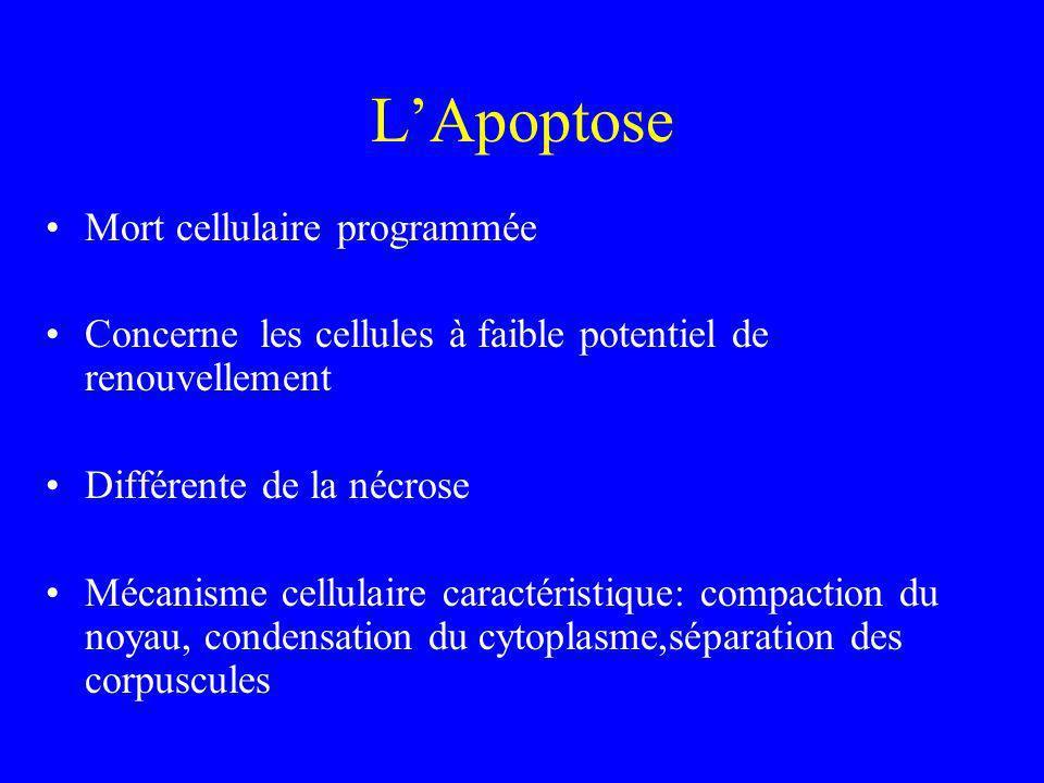 LApoptose Mort cellulaire programmée Concerne les cellules à faible potentiel de renouvellement Différente de la nécrose Mécanisme cellulaire caractér