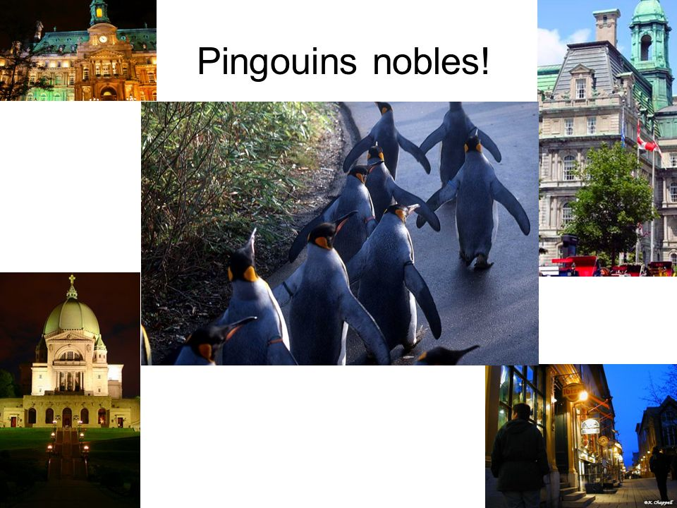 Pingouins nobles!