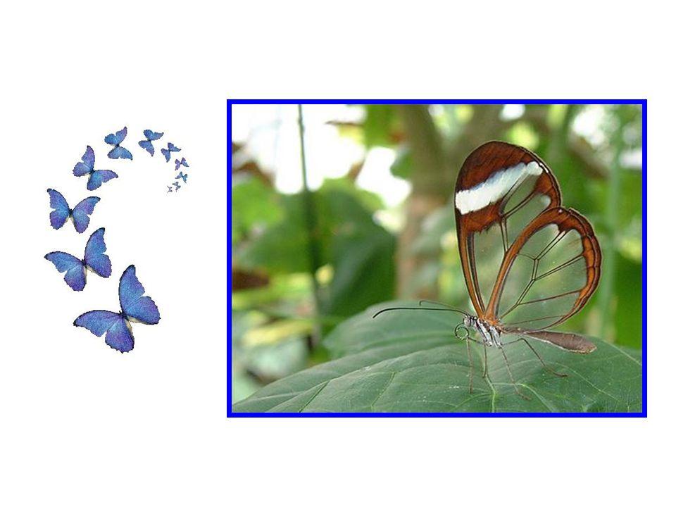 La couleur de leur ailes dans votre paume va littéralement se détruire et se réduire en minuscules particules, si vous caressez leurs ailes trop longt