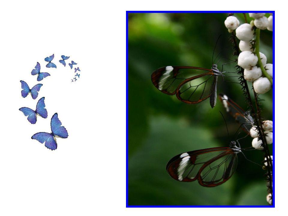 Il en va de même pour la transparence des papillons. Toutefois, dépourvus de certaines de leurs couleurs, ils sont toujours aussi magnifiques, comme d