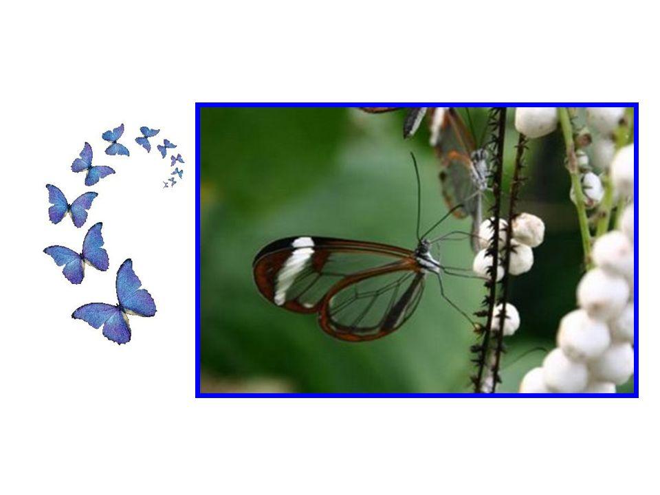 Les papillons transparents ne sont pas un mythe, mais certainement une rareté. Comme peuvent être les sensations du bonheur.