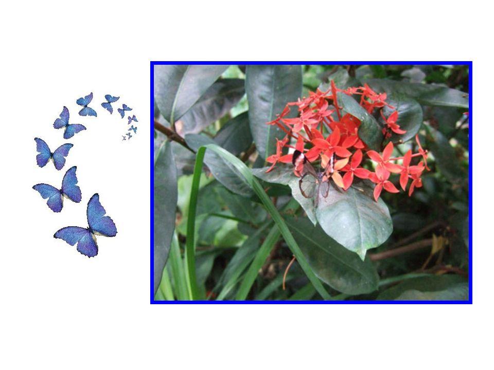 Les papillons aux ailes transparentes sont de la famille Nymphalides. Ce sont des papillons du genre, Ithomiinae. Plus connu sous le nom de « Glasswin