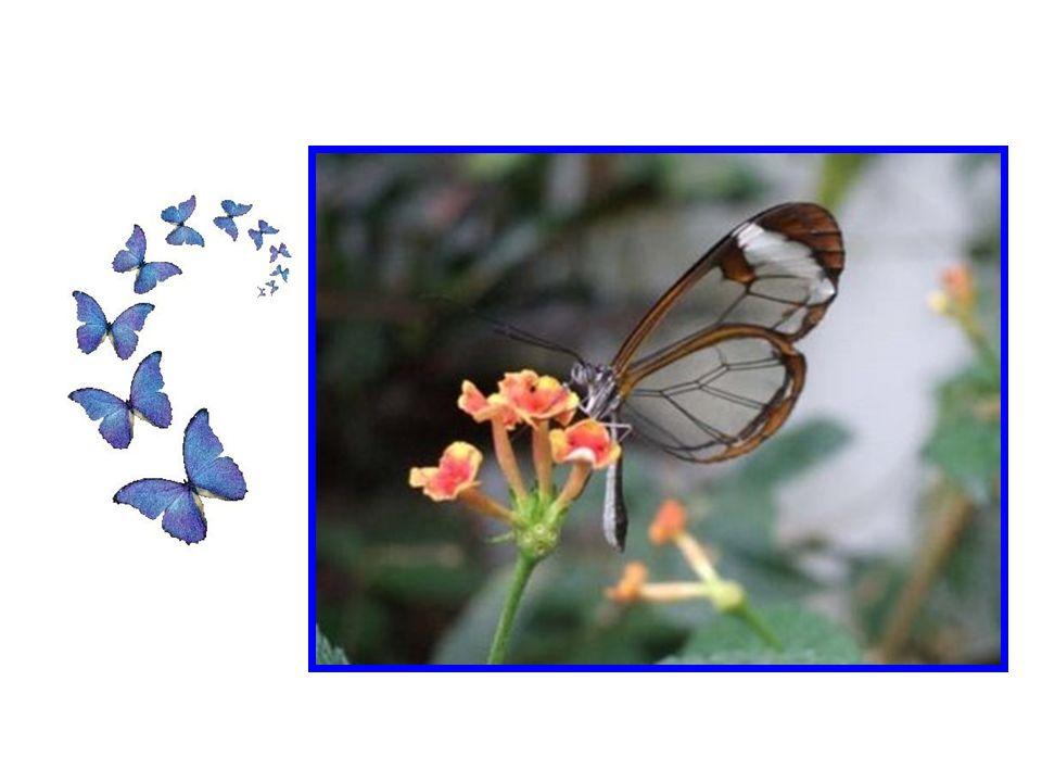 Les papillons transparents ne sont pas un mythe, mais certainement une rareté.