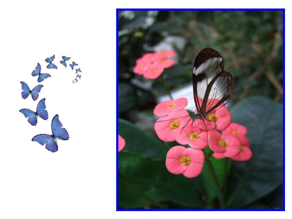 Nous savons tous que les papillons sont fragiles, si fragiles que si vous les prenez accidentellement au creux de votre main trop serré, vous risquez