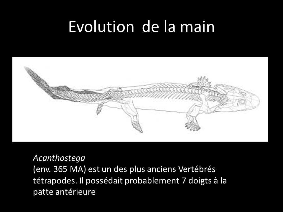 Evolution de la main Acanthostega (env. 365 MA) est un des plus anciens Vertébrés tétrapodes. Il possédait probablement 7 doigts à la patte antérieure