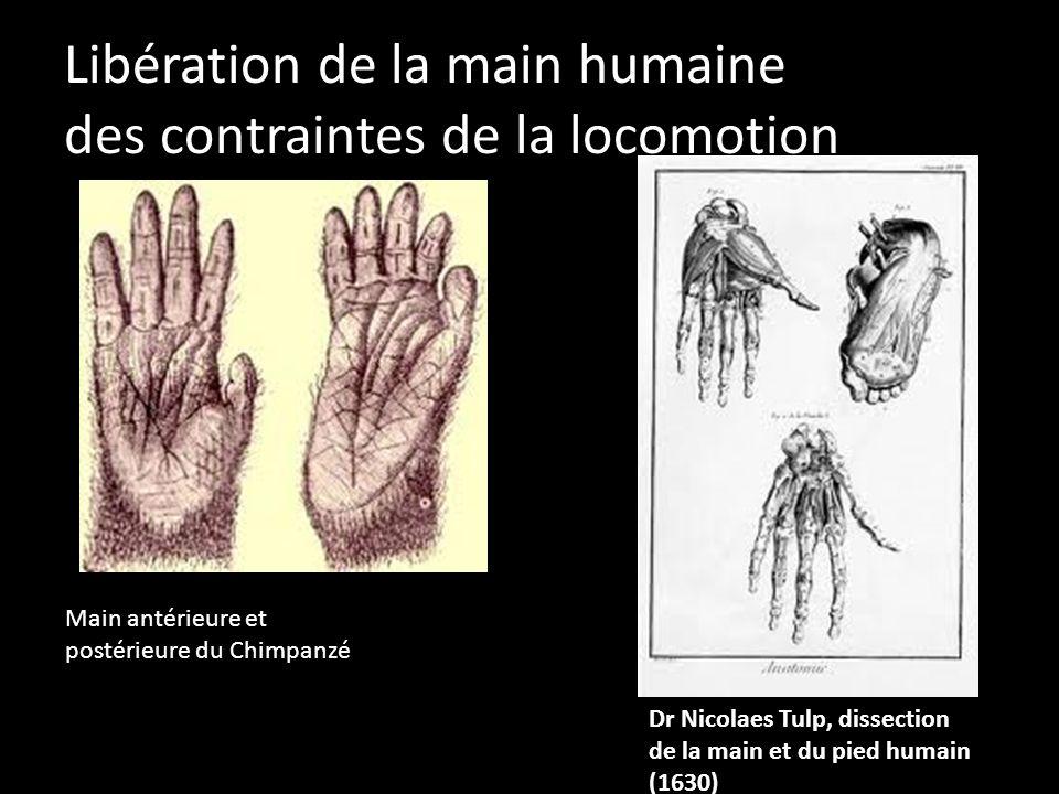 Libération de la main humaine des contraintes de la locomotion Main antérieure et postérieure du Chimpanzé Dr Nicolaes Tulp, dissection de la main et
