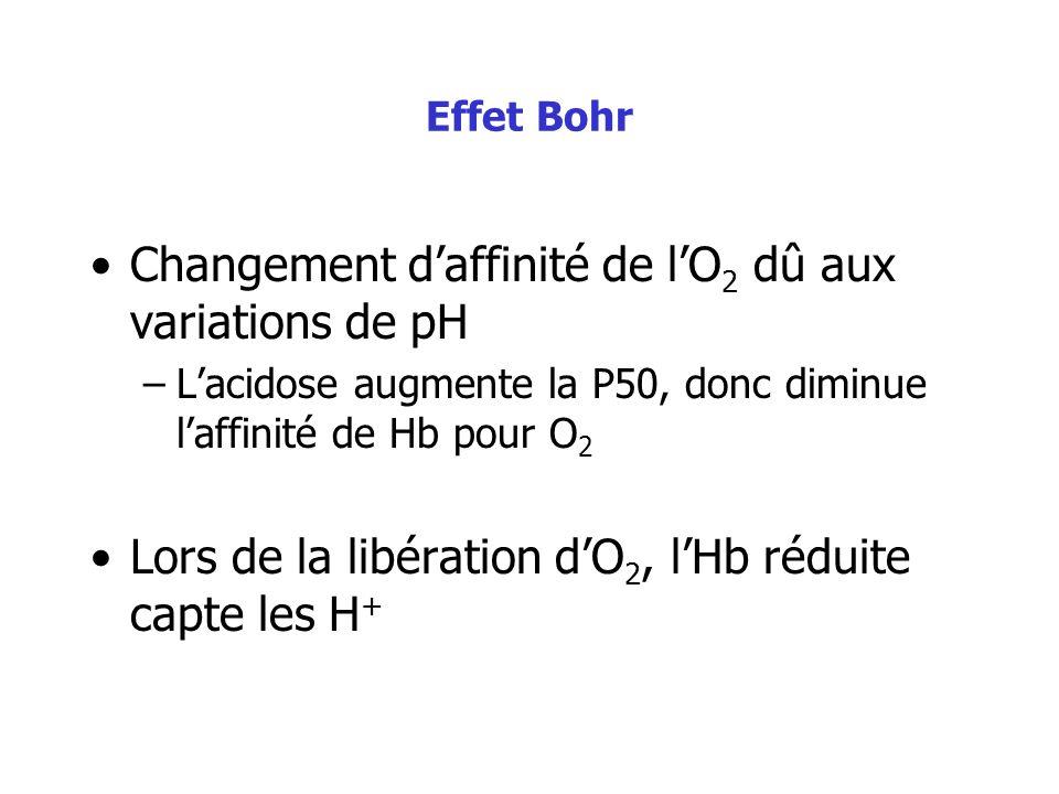Effet Bohr Changement daffinité de lO 2 dû aux variations de pH –Lacidose augmente la P50, donc diminue laffinité de Hb pour O 2 Lors de la libération