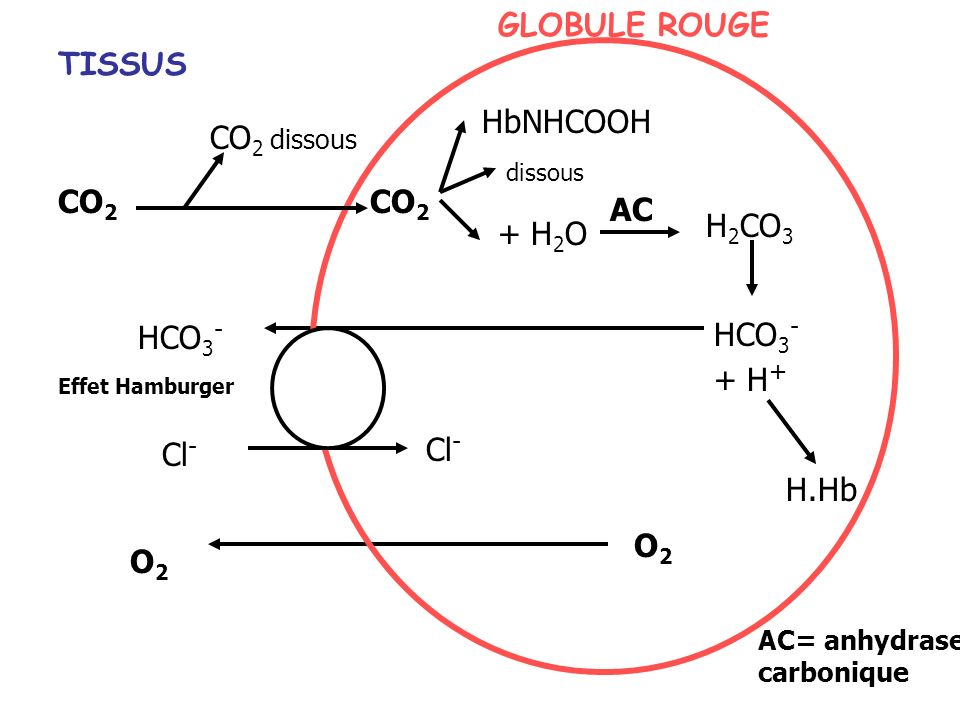CO 2 HbNHCOOH dissous + H 2 O H 2 CO 3 AC HCO 3 - + H + HCO 3 - Cl - O2O2 O2O2 H.Hb GLOBULE ROUGE TISSUS AC= anhydrase carbonique CO 2 dissous Effet Hamburger