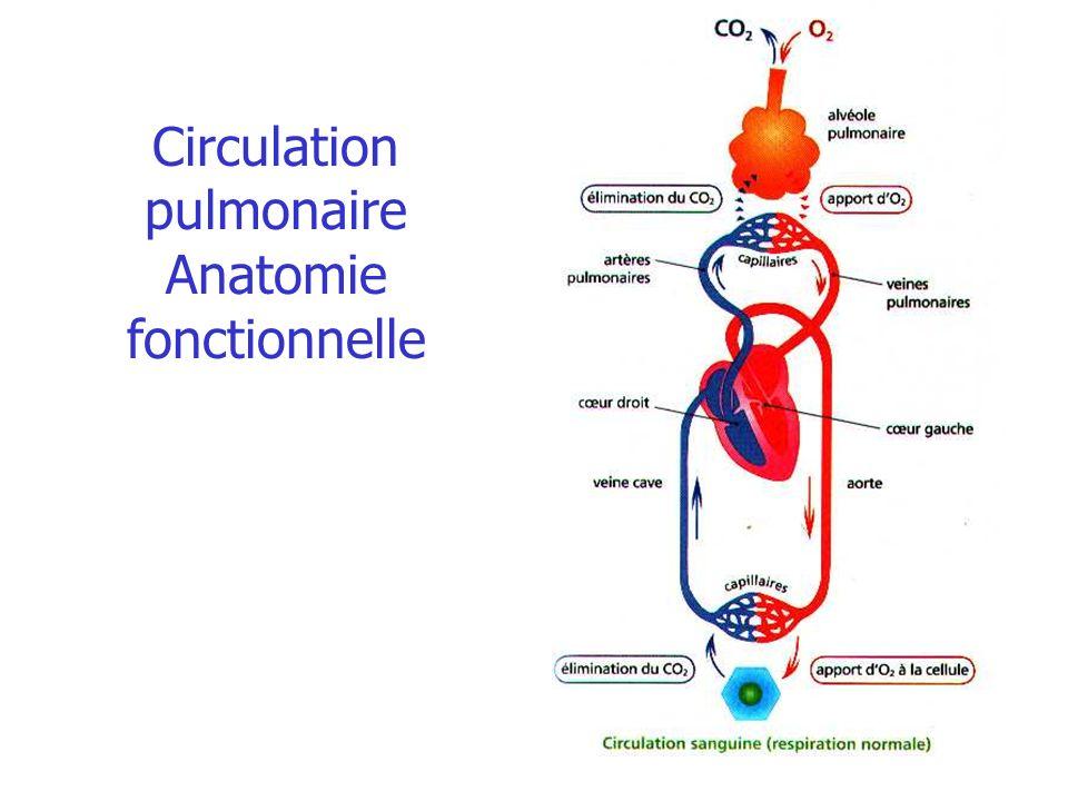 Circulation pulmonaire Anatomie fonctionnelle