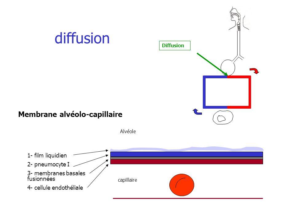 1- film liquidien 2- pneumocyte I 3- membranes basales fusionnées 4- cellule endothéliale Alvéole capillaire diffusion Diffusion Membrane alvéolo-capi