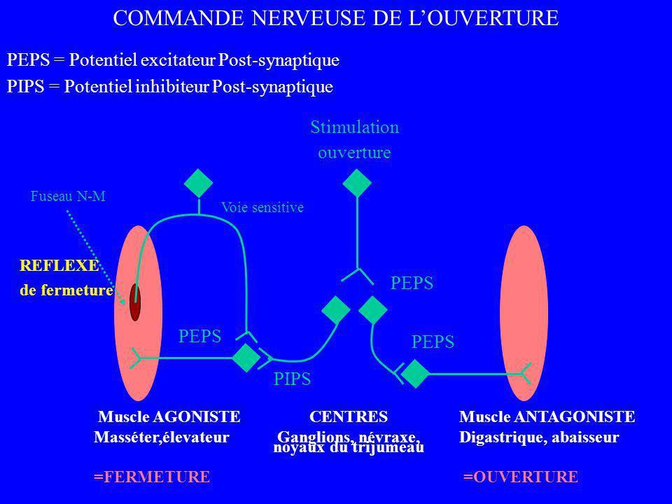 Muscle AGONISTE Masséter,élevateur =FERMETURE Muscle ANTAGONISTE Digastrique, abaisseur =OUVERTURE Stimulation ouverture CENTRES Ganglions, névraxe, n