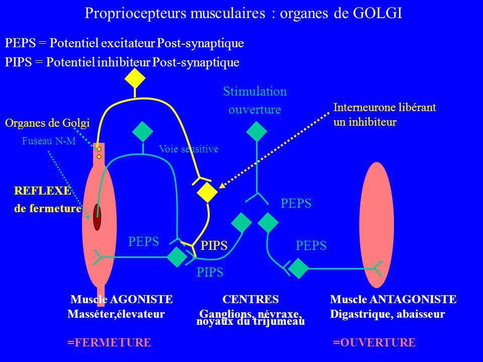 Propriocepteurs musculaires : organes de GOLGI PEPS = Potentiel excitateur Post-synaptique PIPS = Potentiel inhibiteur Post-synaptique REFLEXE de ferm