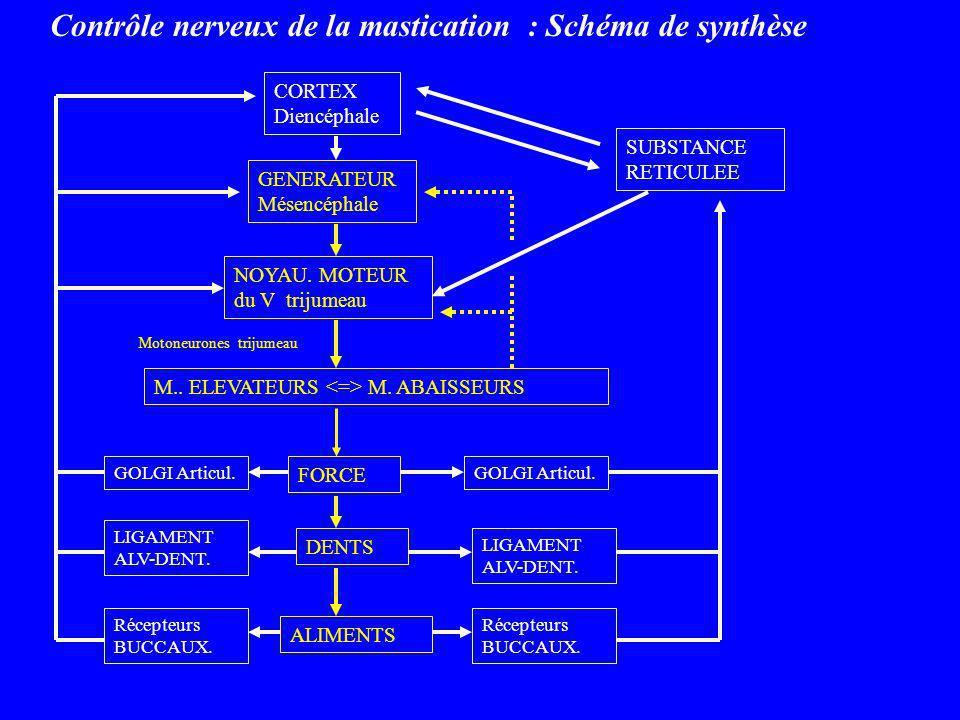 Contrôle nerveux de la mastication : Schéma de synthèse CORTEX Diencéphale GENERATEUR Mésencéphale NOYAU. MOTEUR du V trijumeau M.. ELEVATEURS M. ABAI