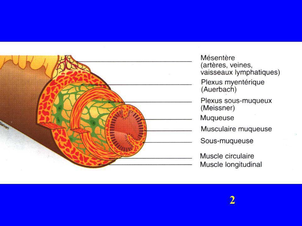 ACTIVITE MYOGENE (spontanée) 0 mV msec Spikes (contraction ) Stimulation = dépolarisation Etirement, acetylcholine, Parasymp,…etc Inhibition = hyperpolarisation Noradrénaline, Symp…etc Potentiel de repos Électrode intracellulaire placée dans le muscle intestinal