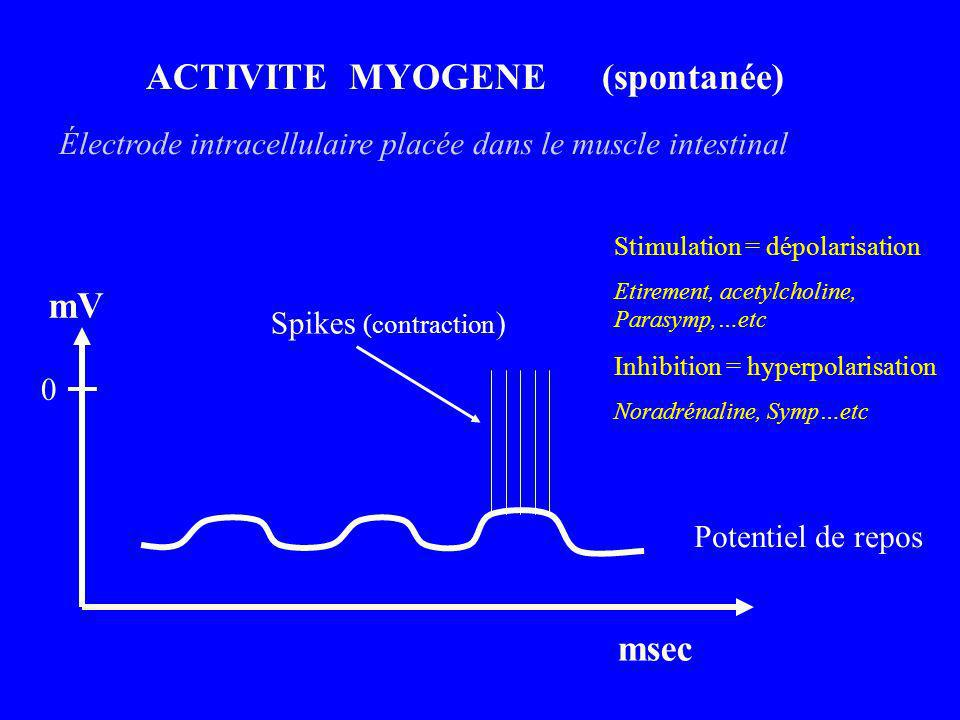 ACTIVITE MYOGENE (spontanée) 0 mV msec Spikes (contraction ) Stimulation = dépolarisation Etirement, acetylcholine, Parasymp,…etc Inhibition = hyperpo