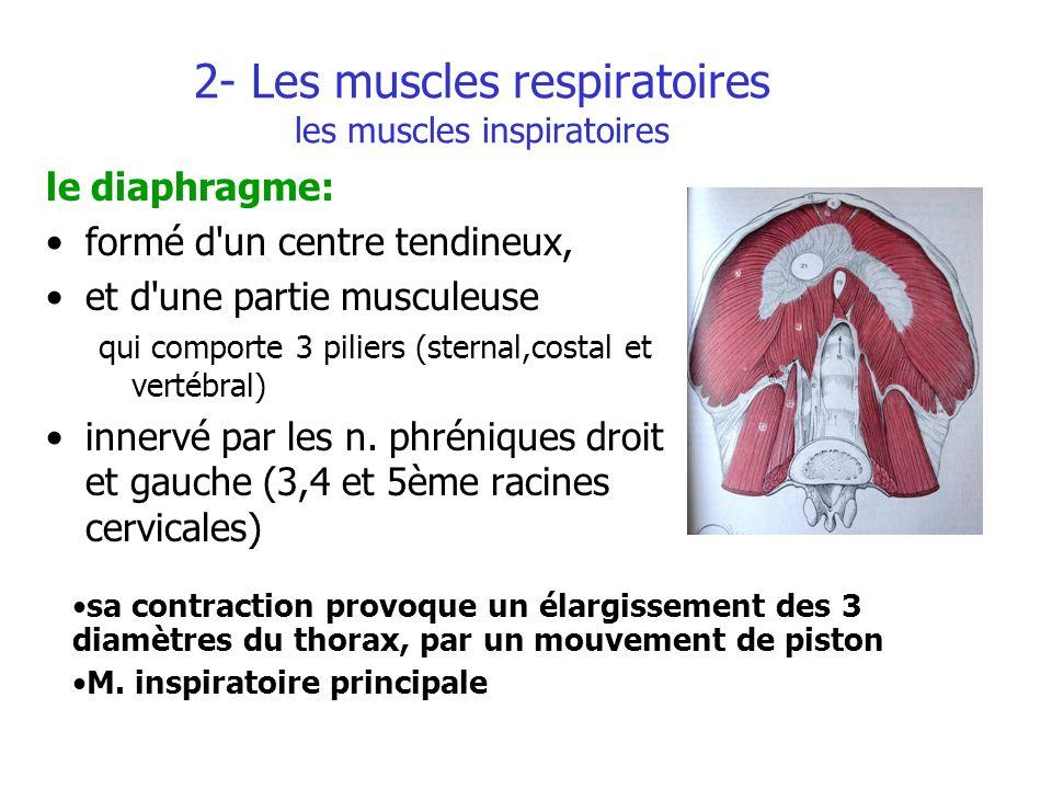 2- Les muscles respiratoires les muscles inspiratoires le diaphragme: formé d'un centre tendineux, et d'une partie musculeuse qui comporte 3 piliers (