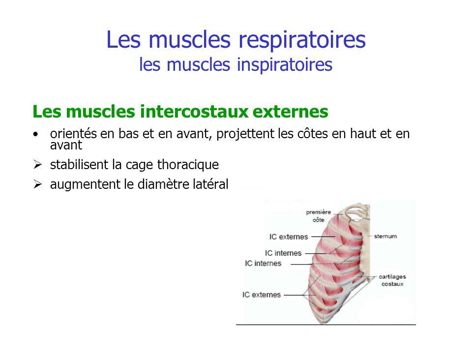 Les muscles respiratoires les muscles inspiratoires Les muscles intercostaux externes orientés en bas et en avant, projettent les côtes en haut et en