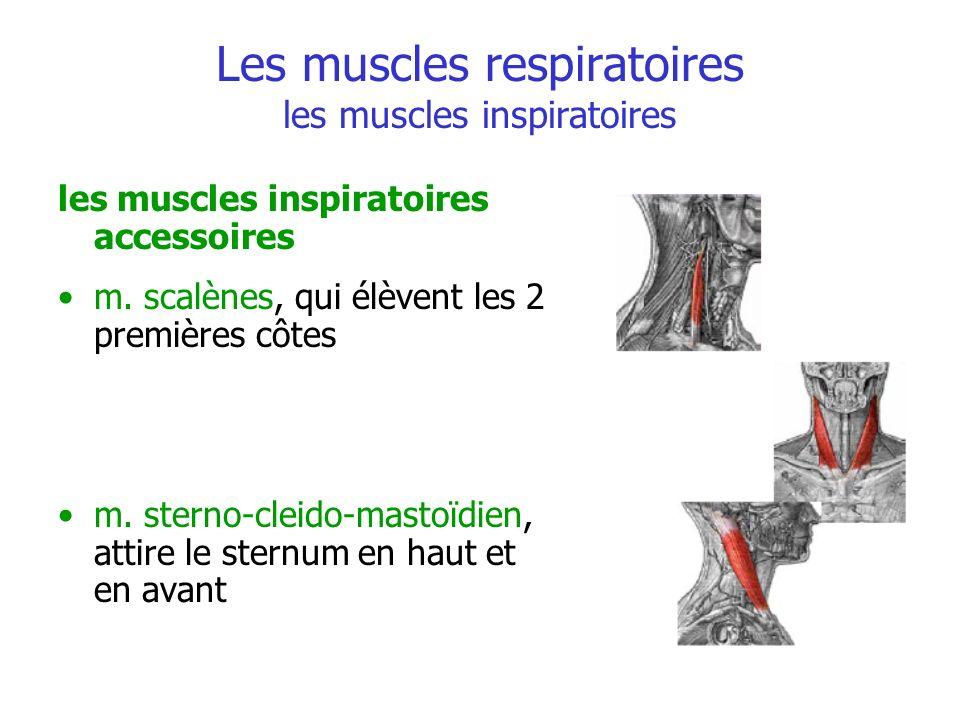 Les muscles respiratoires les muscles inspiratoires les muscles inspiratoires accessoires m. scalènes, qui élèvent les 2 premières côtes m. sterno-cle