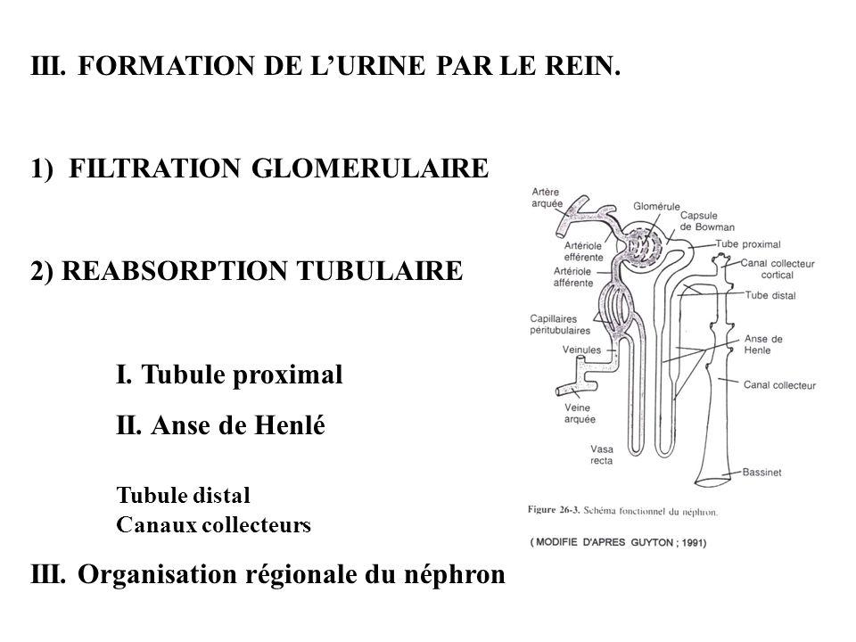 III. FORMATION DE LURINE PAR LE REIN. 1) FILTRATION GLOMERULAIRE 2) REABSORPTION TUBULAIRE I. Tubule proximal II. Anse de Henlé Tubule distal Canaux c