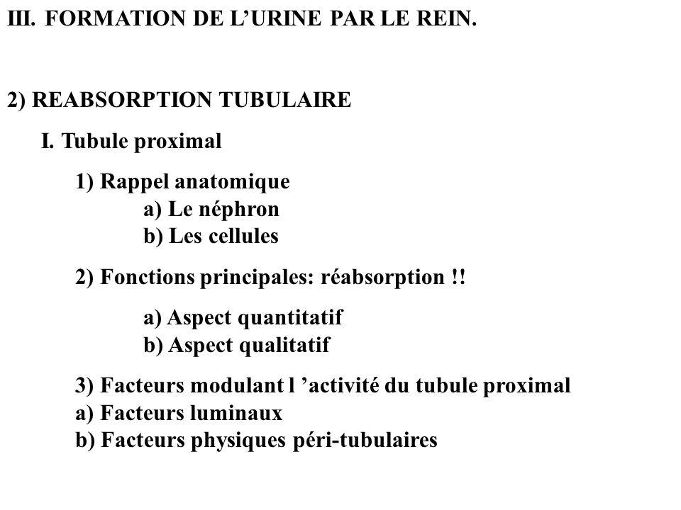 III. FORMATION DE LURINE PAR LE REIN. 2) REABSORPTION TUBULAIRE I. Tubule proximal 1) Rappel anatomique a) Le néphron b) Les cellules 2) Fonctions pri