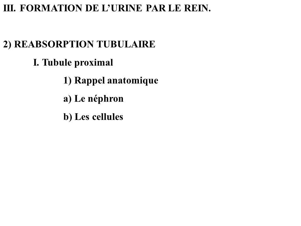 III. FORMATION DE LURINE PAR LE REIN. 2) REABSORPTION TUBULAIRE I. Tubule proximal 1) Rappel anatomique a) Le néphron b) Les cellules