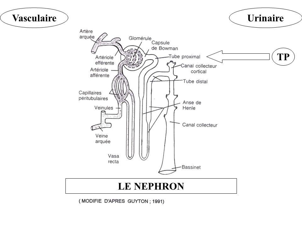 VasculaireUrinaire TP LE NEPHRON