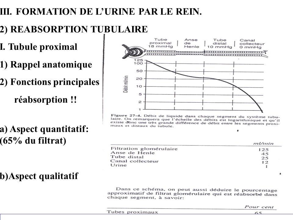 III. FORMATION DE LURINE PAR LE REIN. 2) REABSORPTION TUBULAIRE I. Tubule proximal 1) Rappel anatomique 2) Fonctions principales réabsorption !! a) As