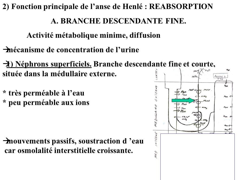 2) Fonction principale de lanse de Henlé : REABSORPTION A. BRANCHE DESCENDANTE FINE. Activité métabolique minime, diffusion mécanisme de concentration