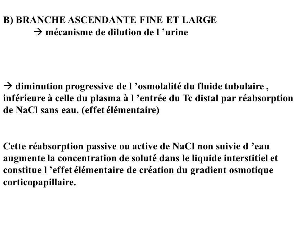 B) BRANCHE ASCENDANTE FINE ET LARGE mécanisme de dilution de l urine diminution progressive de l osmolalité du fluide tubulaire, inférieure à celle du