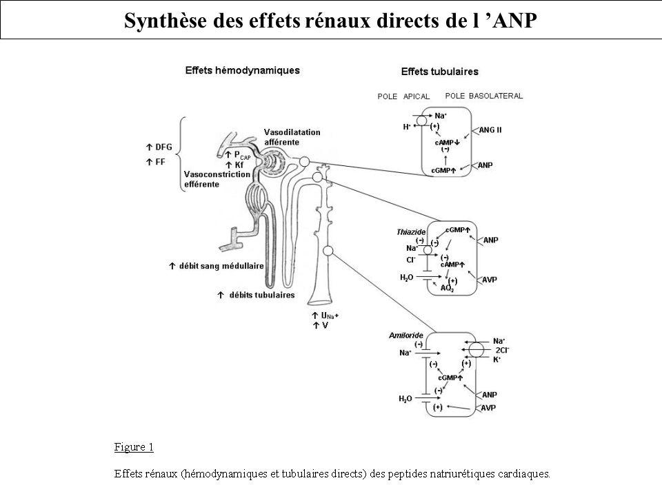 2) Principaux effets biologiques de l ANP: natriurétique, diurétique, vasodilatateur, favorise les transferts capillaires b) Actions rénales de l ANP: indirectes * hémodynamiques * tubulaires « l ANP s oppose à tous les systèmes de rétention d eau et de sel connus »