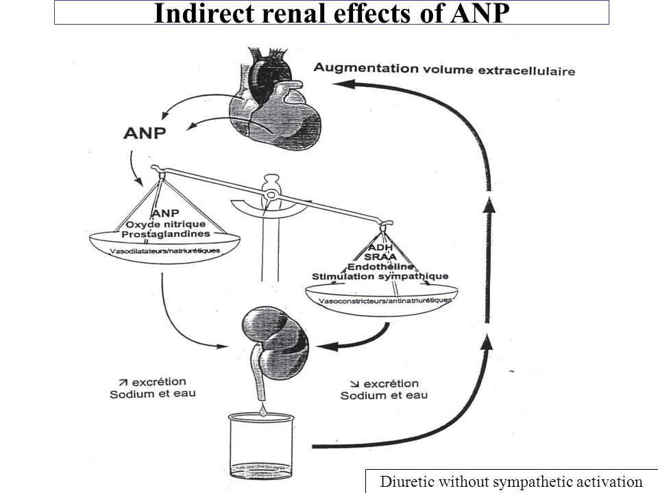Indirect renal effects of ANP Diuretic without sympathetic activation