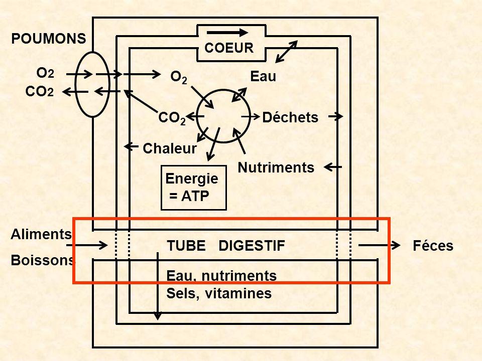 O2O2 Chaleur Energie = ATP Nutriments Déchets Eau COEUR POUMONS O2O2 CO 2 TUBE DIGESTIF Féces Aliments Boissons Eau, nutriments Sels, vitamines