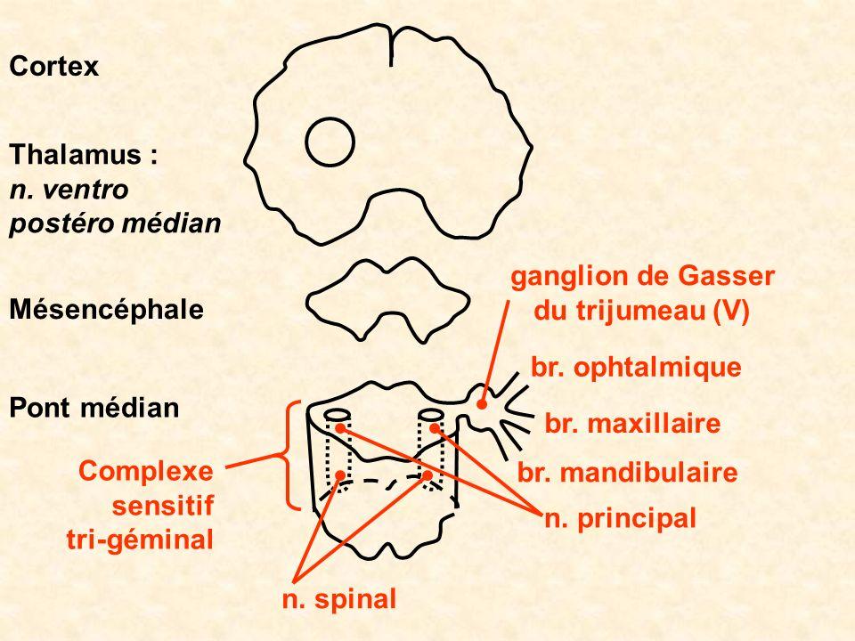 Pont médian Mésencéphale Cortex Thalamus : n. ventro postéro médian ganglion de Gasser du trijumeau (V) br. ophtalmique br. maxillaire br. mandibulair