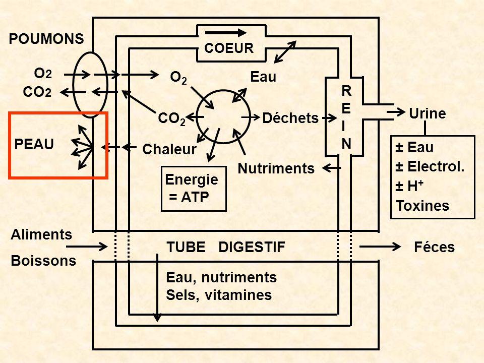 O2O2 CO 2 Chaleur Energie = ATP Nutriments Déchets Eau COEUR POUMONS O2O2 CO 2 TUBE DIGESTIFFéces Aliments Boissons Eau, nutriments Sels, vitamines RE