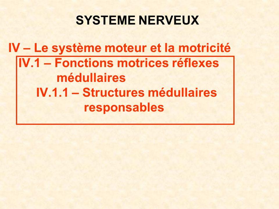 SYSTEME NERVEUX IV – Le système moteur et la motricité IV.1 – Fonctions motrices réflexes médullaires IV.1.1 – Structures médullaires responsables