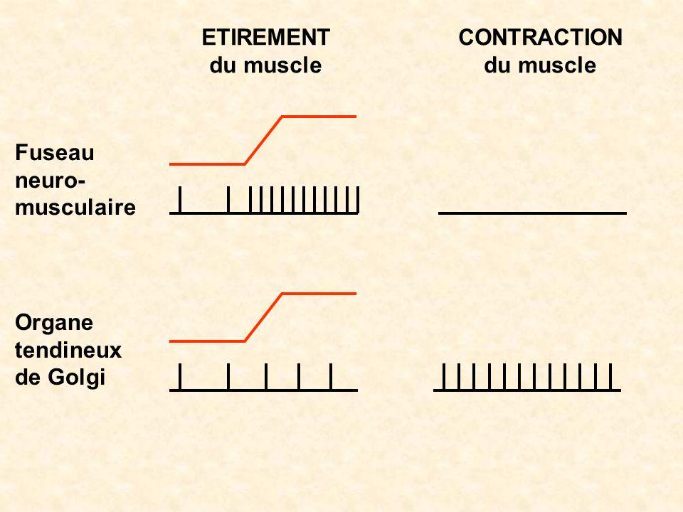 Fuseau neuro- musculaire Organe tendineux de Golgi ETIREMENT du muscle CONTRACTION du muscle
