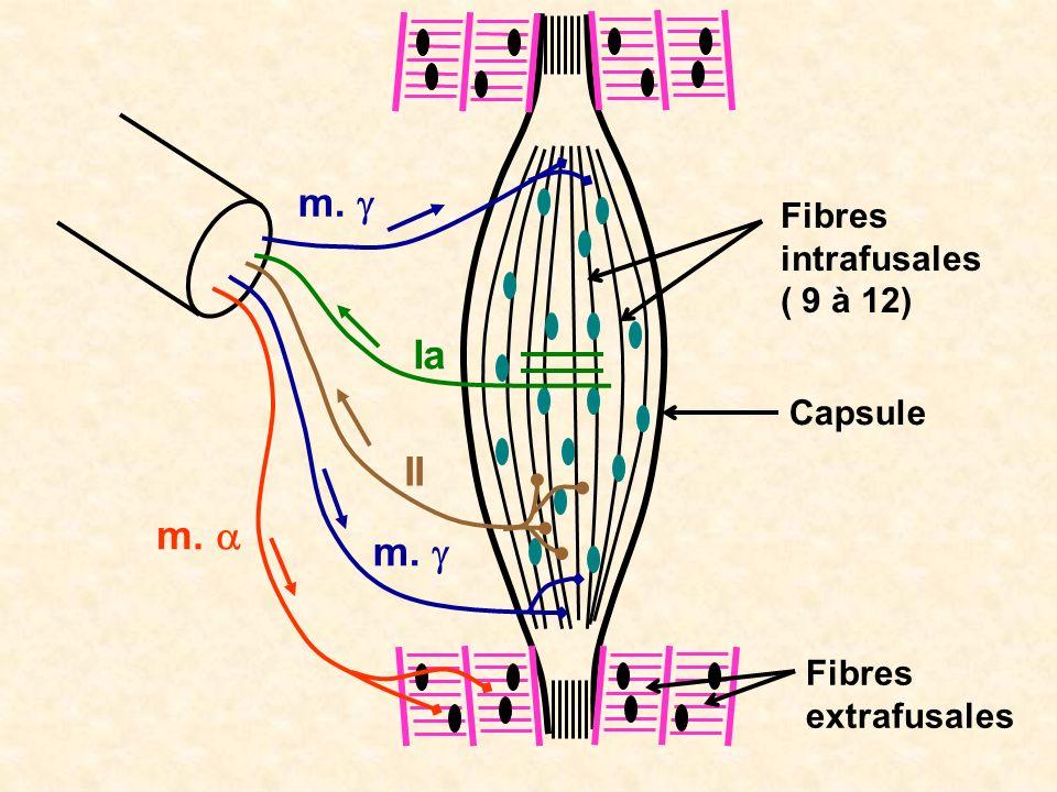 Fibres intrafusales ( 9 à 12) Fibres extrafusales Capsule m. II m. Ia