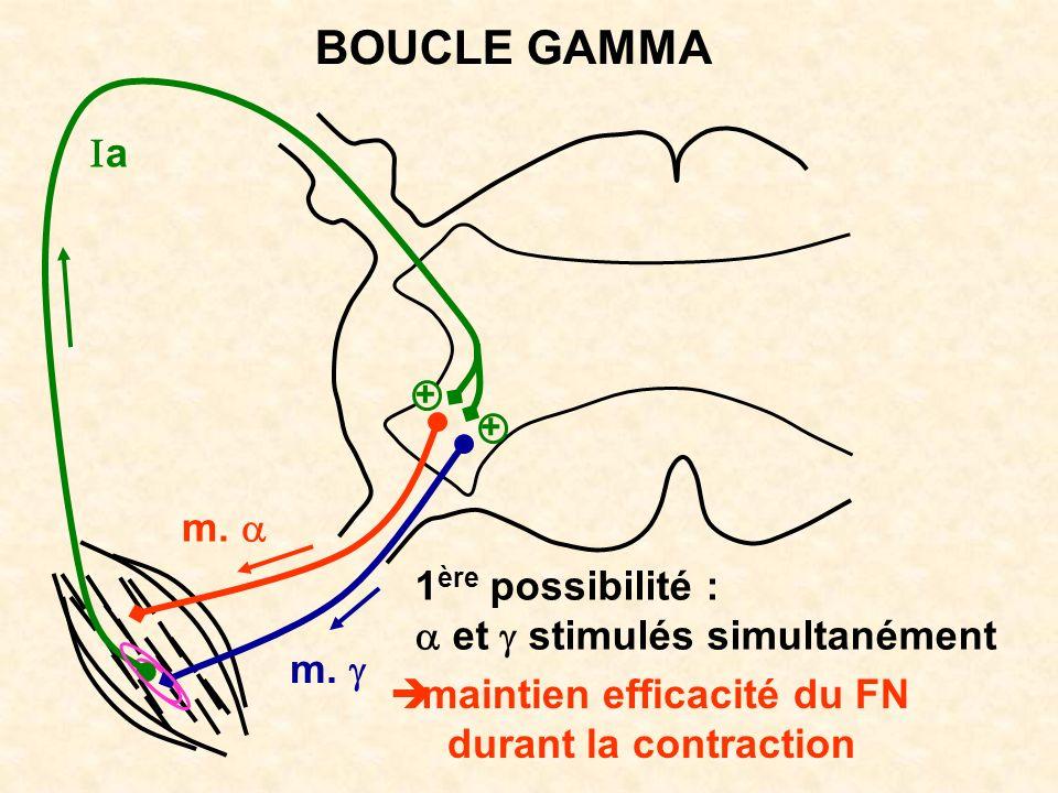m. a BOUCLE GAMMA 1 ère possibilité : et stimulés simultanément maintien efficacité du FN durant la contraction + +