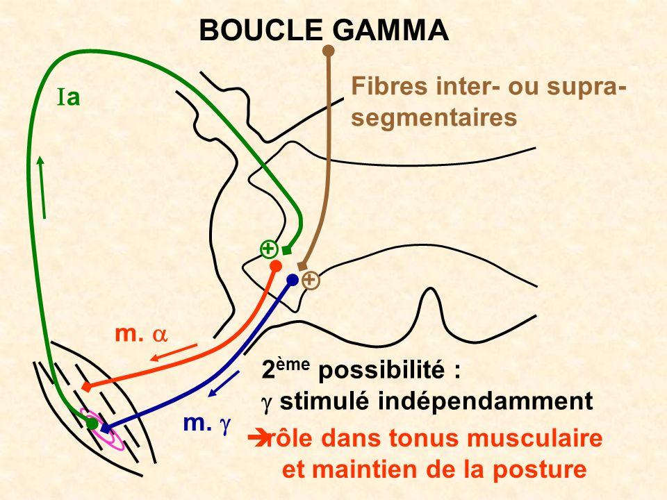 m. a BOUCLE GAMMA 2 ème possibilité : stimulé indépendamment rôle dans tonus musculaire et maintien de la posture + + Fibres inter- ou supra- segmenta