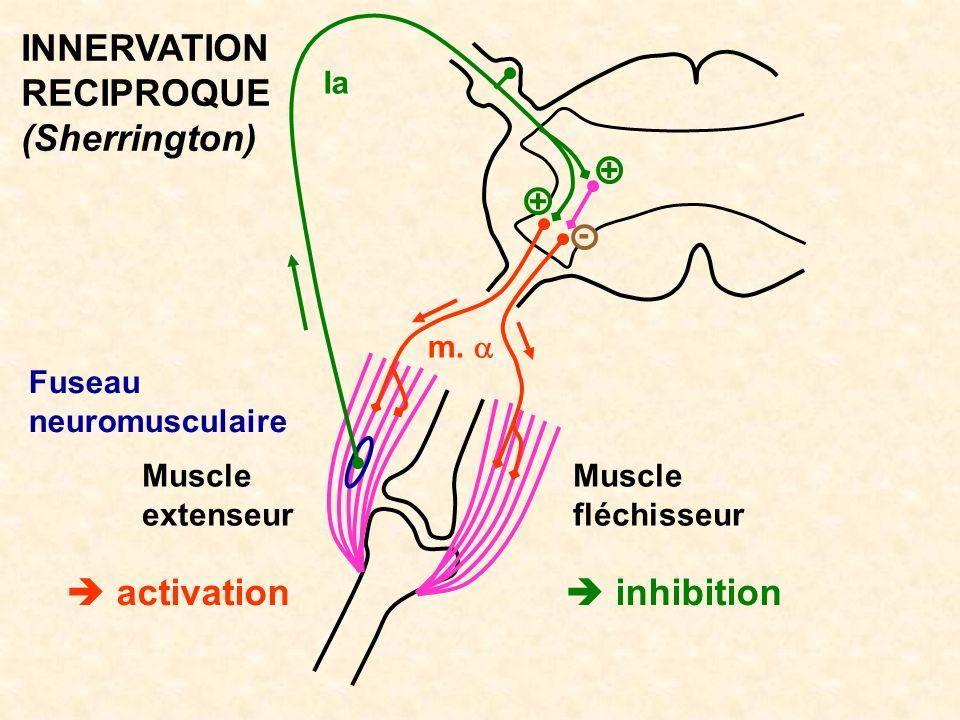 Muscle fléchisseur inhibition Muscle extenseur activation Fuseau neuromusculaire m. Ia - INNERVATION RECIPROQUE (Sherrington) + +