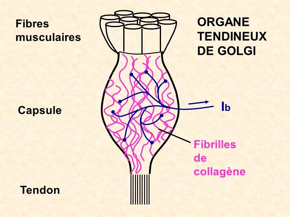 IbIb Fibrilles de collagène Fibres musculaires Capsule Tendon ORGANE TENDINEUX DE GOLGI