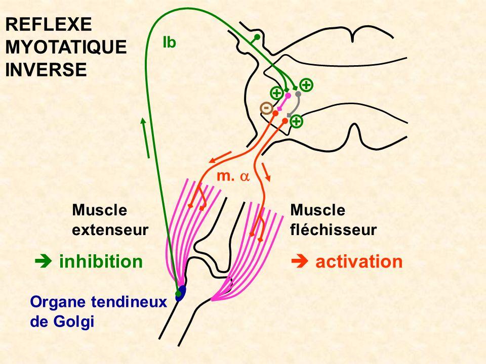 Muscle fléchisseur inhibition Muscle extenseur activation Organe tendineux de Golgi m. Ib REFLEXE MYOTATIQUE INVERSE + + + -