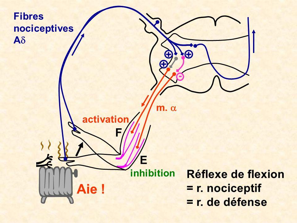 inhibition activation m. - Réflexe de flexion = r. nociceptif = r. de défense Aie ! F E Fibres nociceptives A ++ +