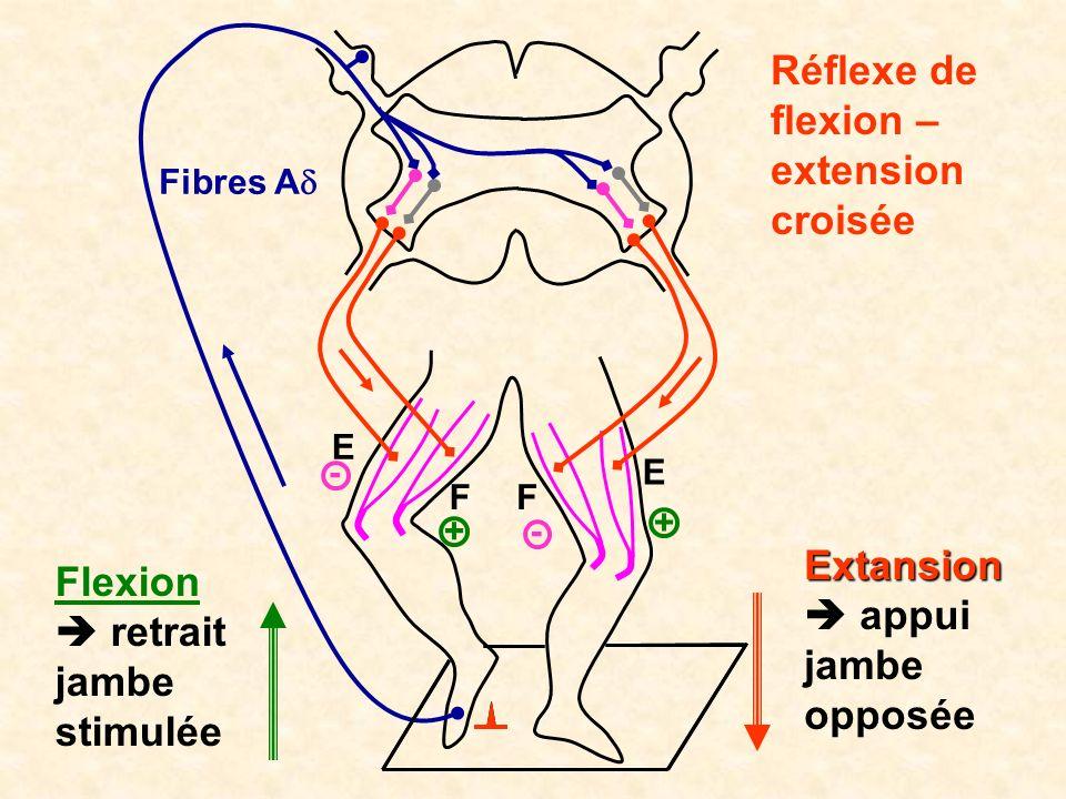 E E FF Fibres A - Réflexe de flexion – extension croisée Flexion retrait jambe stimulée Extansion appui jambe opposée + + -