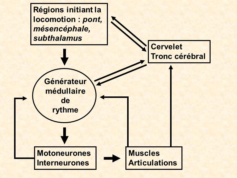 Générateur médullaire de rythme Motoneurones Interneurones Muscles Articulations Régions initiant la locomotion : pont, mésencéphale, subthalamus Cerv