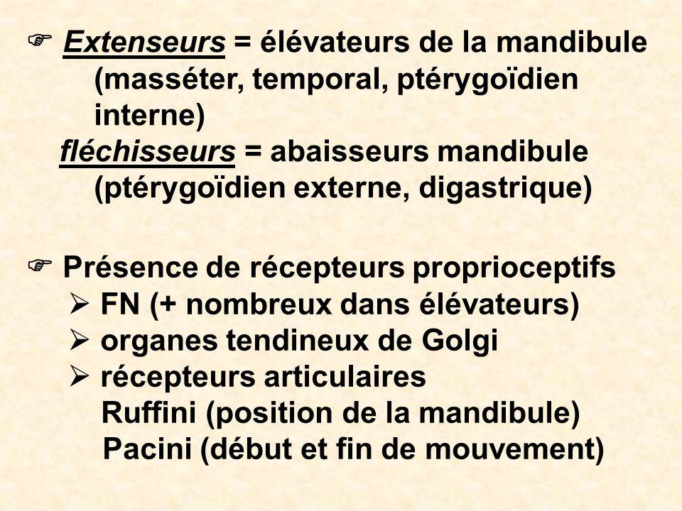 Extenseurs = élévateurs de la mandibule (masséter, temporal, ptérygoïdien interne) fléchisseurs = abaisseurs mandibule (ptérygoïdien externe, digastri