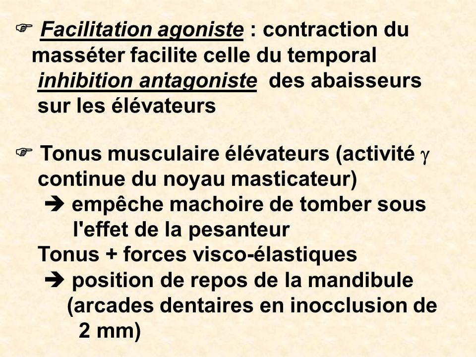 Facilitation agoniste : contraction du masséter facilite celle du temporal inhibition antagoniste des abaisseurs sur les élévateurs Tonus musculaire é