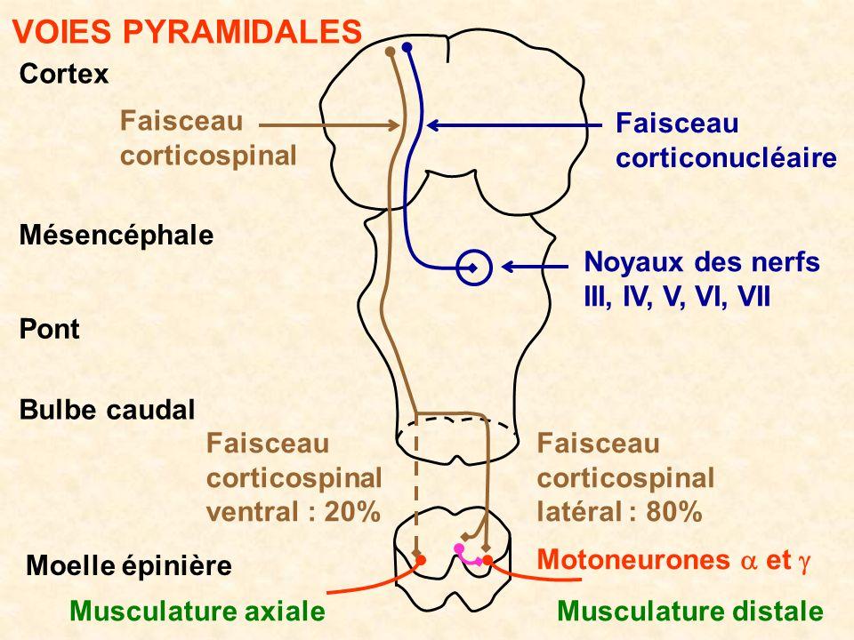 Cortex Mésencéphale Bulbe caudal Pont Moelle épinière VOIES PYRAMIDALES Faisceau corticospinal Faisceau corticonucléaire Noyaux des nerfs III, IV, V,